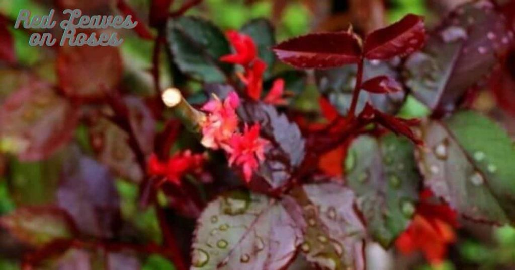 red leaves on roses
