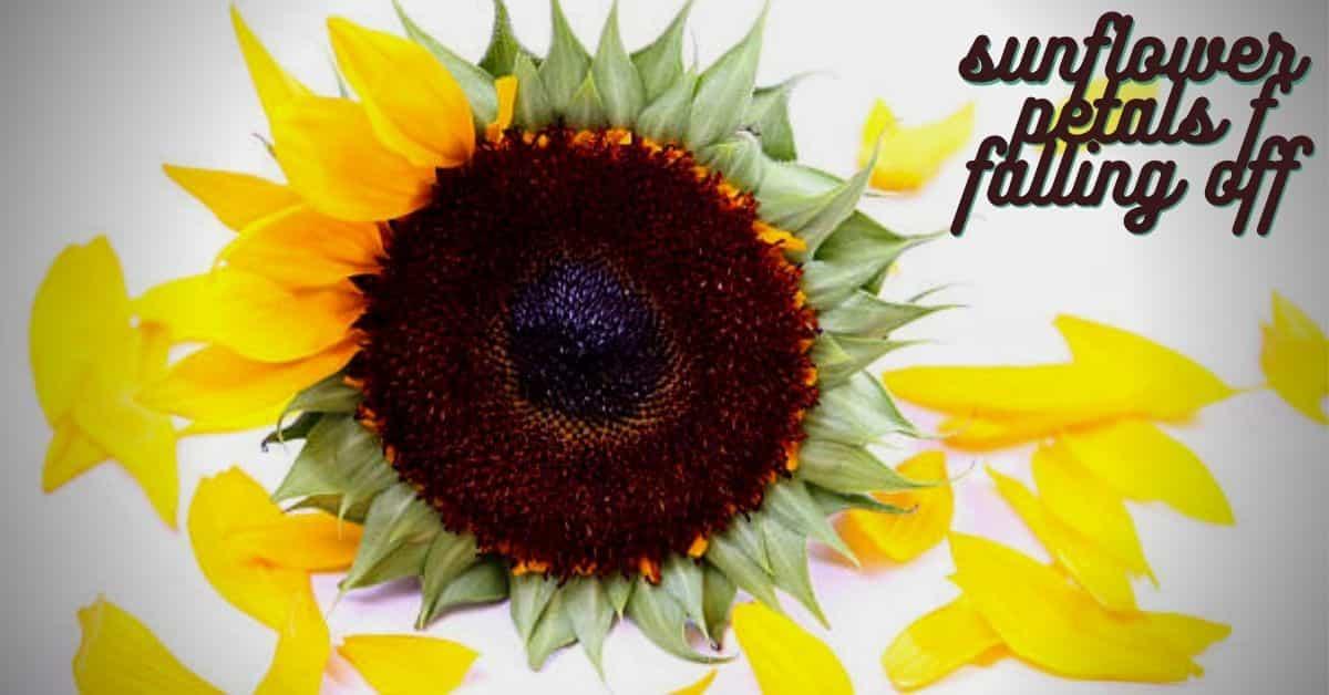 sunflower petals falling off