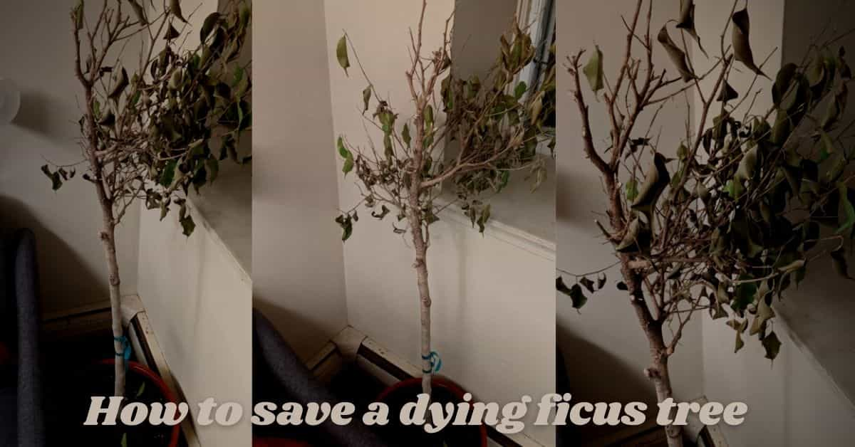 how to save a dying ficus tree