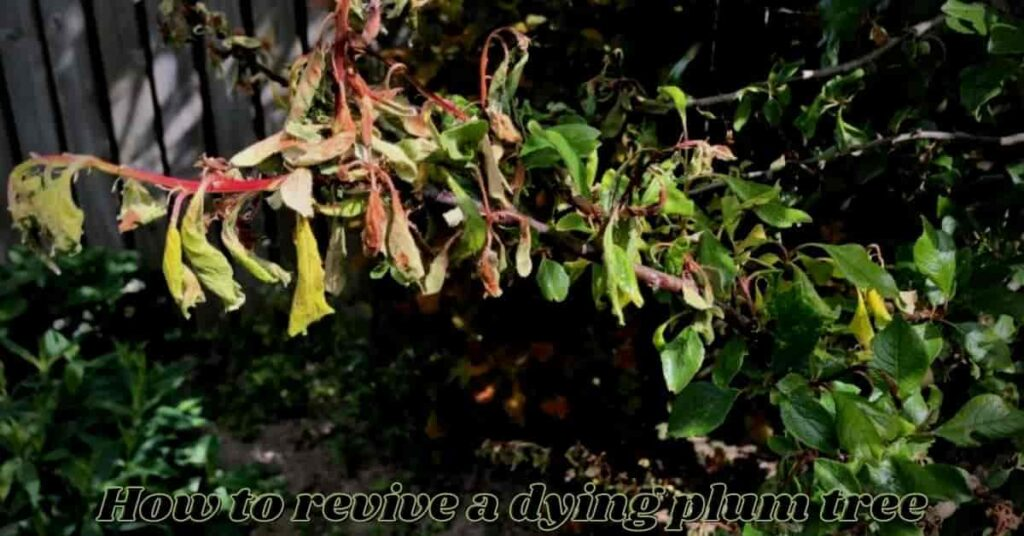 how to revive a dying plum tree